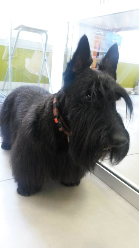 Scottish-Terrier-Happy-Guau-Perruqueria-canina-sabadell